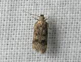 1004   Gelechia scotinella  163.jpg