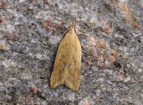 1114   Dichomeris limosellus  250.jpg