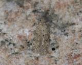 0998   Pseudotelphusa paripunctella  6343.jpg