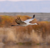 Bosque del Apache, NM, November 2008