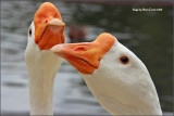 Hungry Geese