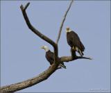 Protective Eagles
