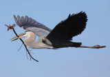 Herons - Garzas