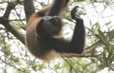 howling_monkeys