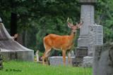 White-tailed deer:  SERIES