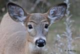White-tailed deer (juv)