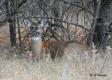 White-tailed deer (f)