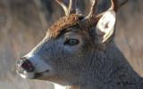 White-tailed deer (m)