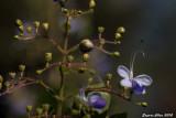 紫蝴蝶 (Blue butterfly bush)