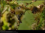 Goldcrest (Fuglekonge / Regulus regulus)