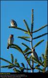 Waxwings (Silkehale / Bombycilla garrulus)
