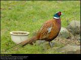 Pheasant (Fasan / Phasianus colchicus)