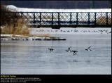Tufted ducks (Troldand / Aythya fuligula)