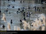 Tufted duck (Troldand / Aythya fuligula)