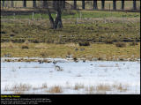 Greylag Goose (Grågås / Anser anser)