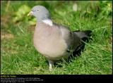 Wood Pigeon (Ringdue / Columba palumbus)