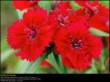 China Pinks (Kinesernellike / Dianthus chinensis)