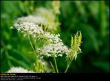 Wild Chervil (Vild Kørvel / Anthriscus sylvestris)