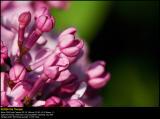 Common Lilac (Syren / Syringa vulgaris)