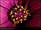 Osteospermum (Spansk Marguerit / Osteospermum)