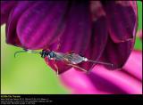 Ichneumon wasp (Snyltehveps  / Ichneumon sp.)