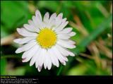 Common Daisy (Tusindfryd / Bellis perennis)