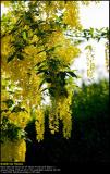 Laburnum (Guldregn / Laburnum anagyroides)
