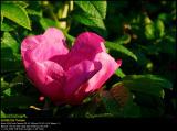 Rogusa Rose (Rynket Rose /Rosa Ragusa)