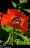 Oriental Poppy (Valmue / Papaver orientale)