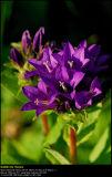 Clustered Bellflower (Nøgleblomstret Klokke / Campanula glomerata)