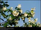 Sweet Mockorange (Uægte Jasmin / Philadelphus coronarius)
