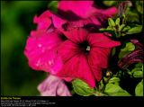 Petunia (Petunia / Petunia)