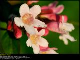 Beauty bush (Dronningebusk / Kolkwitzia amabilis)