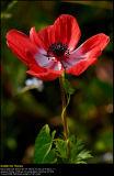 Poppy Anemone (Fransk Anemone / Anemone coronaria)
