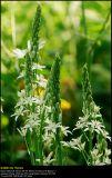 Camassia (Prærielilje / Camassia leichtlinii)