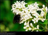 European Privet (Alm. Liguster / Ligustrum vulgare)