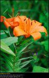 Lily Orange Pixie (Lilje / Lilium)