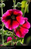 Hollyhock (Stokrose / Alcea rosea)