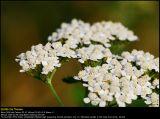 Yarrow (Røllike / Achillea millefolium)