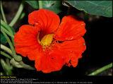 Nasturtium (Blomsterkarse / Tropaeolum majus)