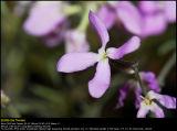 Perfume plant (græsk Levkøj / Matthiola bicornis longipetala)