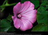 Rose Mallow (Mamelukærme / Lavatera trimestris)
