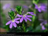 Fairy Fan-flower (Fjerblomst / Scaevola aemula)