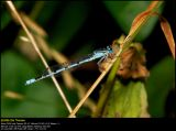 Common Blue Damselfly (Alm. Vandnymfe / Enallagma cyathigerum)