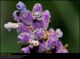 Lavender (Lavendel / Lavandula augustifolia)