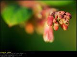 Cotoneaster shrub