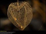 Chinese Lantern (Jødekirsebær / Physalis alkekengi)