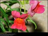 Sweet pea (Vår-fladbælg / Lathyrus vernus)