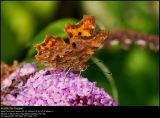 Comma butterfly (Det hvide C / Polygonia c-album)