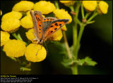 Small Copper (Lille Ildfugl / Lycaena phlaeas)